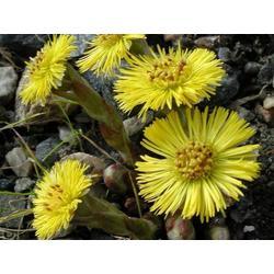 三门峡款冬花种子种苗,精准脱贫致富品种