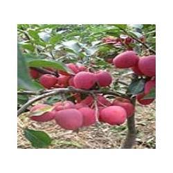 千亩苗木基地供大量果树苗木绿化苗木