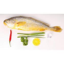 穗乐鲜黄花鱼,鲜活海鲜黄花鱼水产批发,宁德大黄鱼