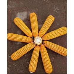 省工玉米懒汉玉米高产玉米新品种金农9号