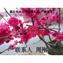 苏州梅花树种植基地、光福香雪海梅花、别墅绿化苗木、梅花树苗圃