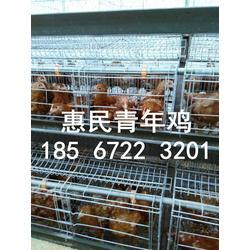 供应60天海兰褐,海兰灰青年鸡,育成鸡,脱温鸡,后备鸡,鸡苗