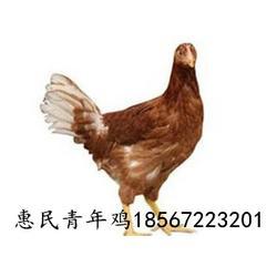 海兰褐蛋鸡和海兰灰蛋鸡的区别