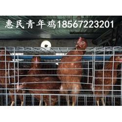60-120海兰褐,海兰灰育成鸡,后备鸡
