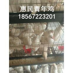 供应60-120天罗曼灰青年鸡育成鸡