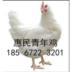 60日龄罗曼粉青年鸡养殖基地