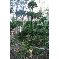 鸿运果、苏州庭院施工、苏州别墅绿化苗木果树、苏州绿化苗木