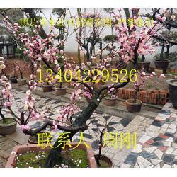 苏州梅花树、苏州香雪海梅花树、梅花树种植基地、梅花树树桩盆景
