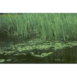 大量批发水生芦苇水体绿化水生植物绿化苗芦苇量大优惠