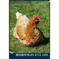 常见的优质蛋鸡青年鸡品种海兰褐蛋鸡青年鸡罗曼蛋鸡青年鸡