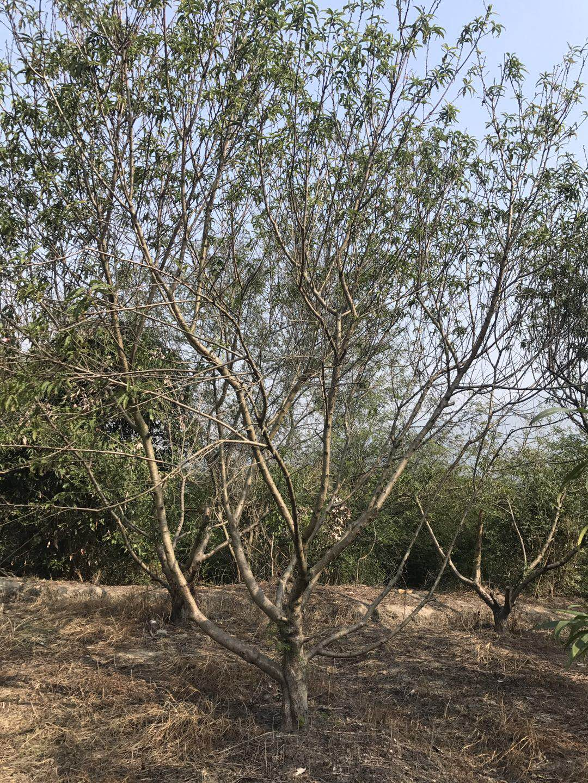 【脆桃是什么品种桃树苗怎么种出苗率高的育苗基质... -黄页88网